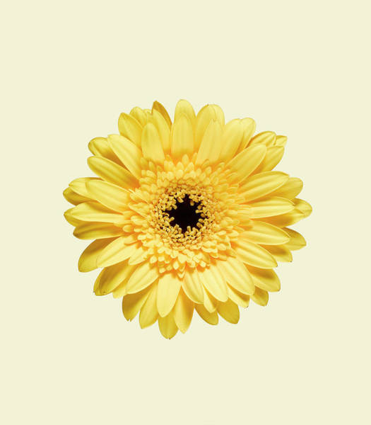 Sparse Photograph - Yellow Gerbera by Adrian Burke