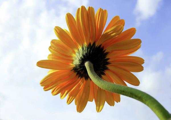 Daisy Photograph - Yellow Gerbera Daisy Flower by Sudarshan V