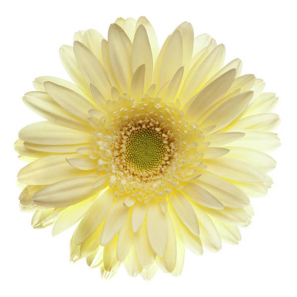 Daisy Photograph - Yellow Gerbera Daisy Isolated On White by Jill Fromer