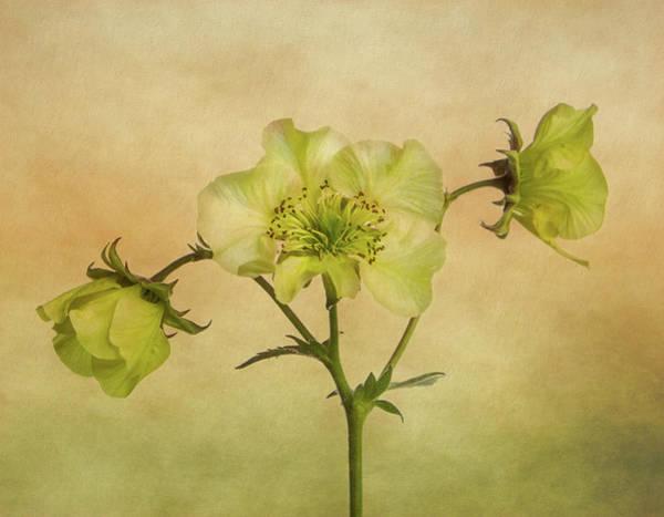 Wall Art - Photograph - Yellow Geum Flowers by Robert Murray