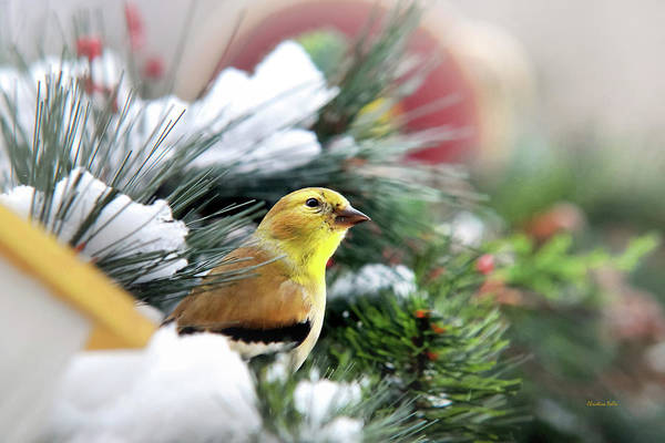 Photograph - Yellow Goldfinch by Christina Rollo