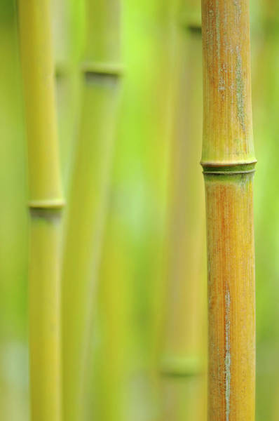 Wall Art - Photograph - Yellow-groove Bamboo Phyllostachys by Cora Niele