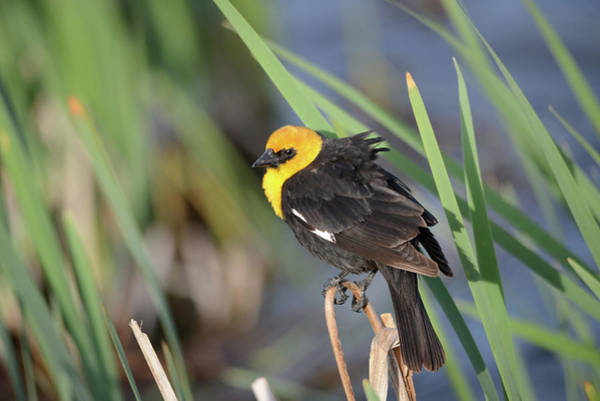 Wall Art - Photograph - Yellow Head Blackbird At The Pond by Whispering Peaks Photography