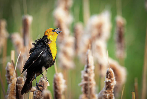 Photograph - Yellow Headed Black Bird Singing by Philip Rispin