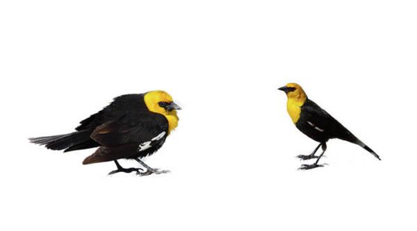 Photograph - Yellow Headed Blackbird  by Steve Estvanik