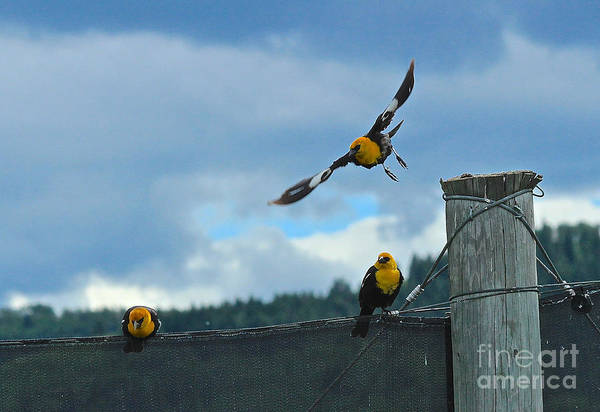 Photograph - Yellow Headed Blackbirds by Ann E Robson