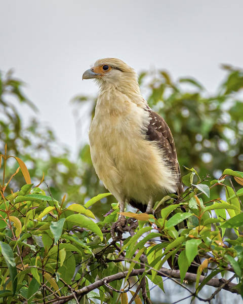 Photograph - Yellow Headed Caracara Hato Barley Tauramena Casanare Colombia by Adam Rainoff