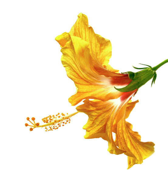 Photograph - Yellow Hibiscus by Christopher Johnson