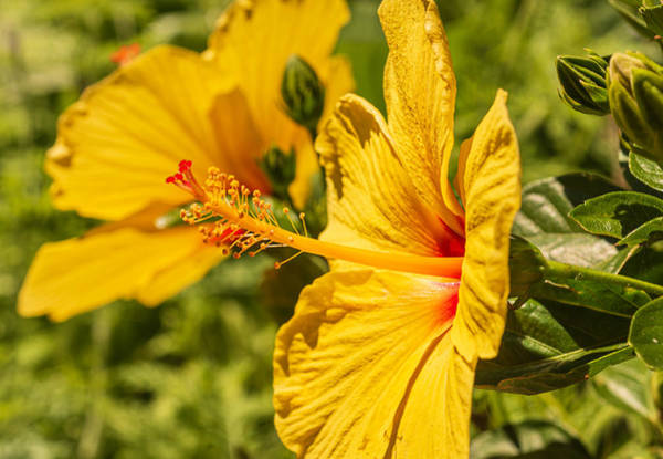 Wall Art - Photograph - Yellow Hibiscus by Keith Smith