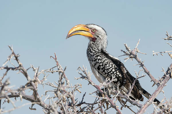 Wall Art - Photograph - Yellow Hornbill Perched In A Tree by Brenda Tharp