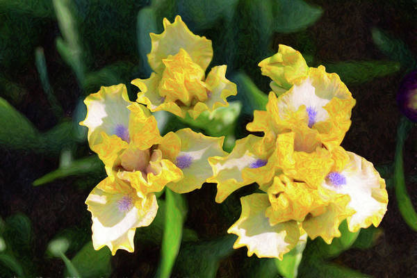 Digital Art - Yellow Irises - Joyful Reunion - By Omaste Witkowski by Omaste Witkowski