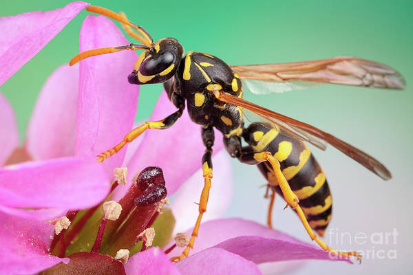 Photograph - Yellow Jacket by Marco Fischer