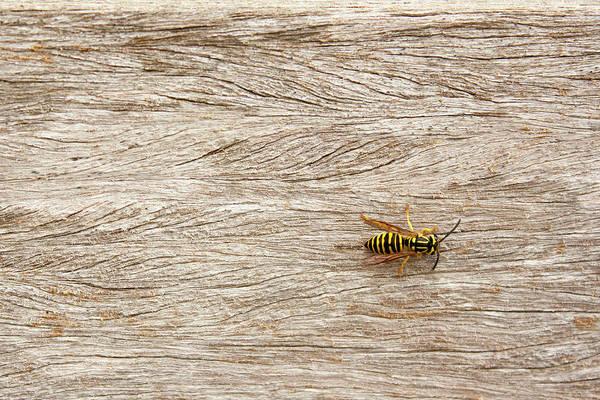 Wall Art - Photograph - Yellow Jacket Wasp by Samantha Schimpf