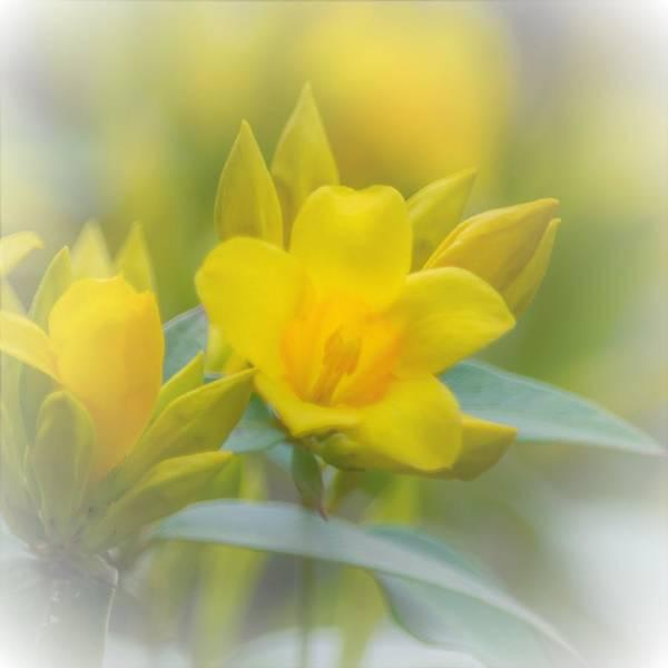 Jasmin Photograph - Yellow Jasmine Square by Mary Ann Artz