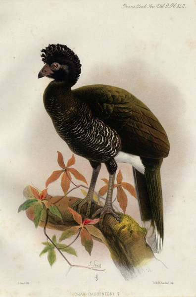 Colombian Wall Art - Painting - Yellow-knobbed Curassow by Philip Sclater