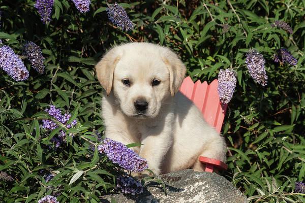 Labrador Retriever Photograph - Yellow Labrador Retriever Puppy Sitting by Zandria Muench Beraldo