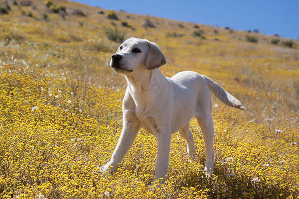 Wall Art - Photograph - Yellow Labrador Retriever Puppy by Zandria Muench Beraldo