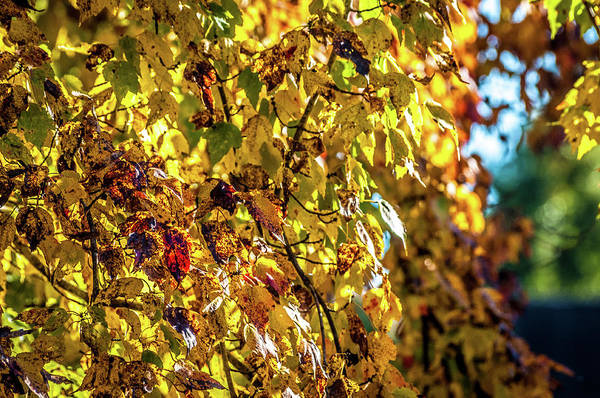 Photograph - Yellow Leaves by James L Bartlett