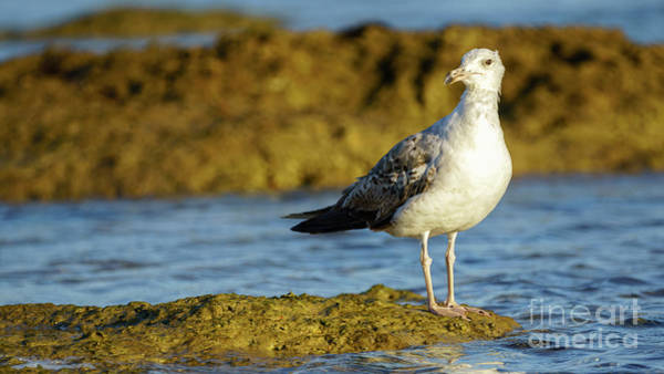 Photograph - Yellow-legged Gull Breeding Larus Michahellis by Pablo Avanzini