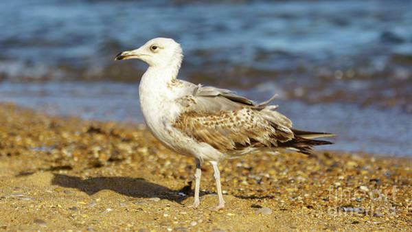 Photograph - Yellow-legged Gull Breeding Looking Left by Pablo Avanzini