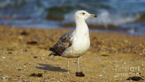 Photograph - Yellow-legged Gull Breeding Looking Right by Pablo Avanzini