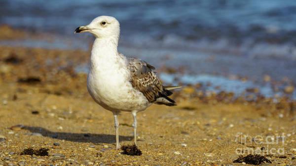 Photograph - Yellow-legged Gull Breeding Seashore by Pablo Avanzini