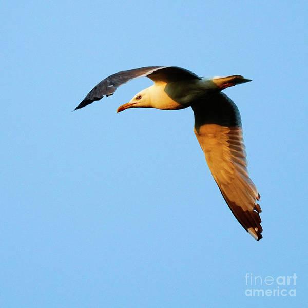 Photograph - Yellow-legged Gull Flying At Sunset by Pablo Avanzini