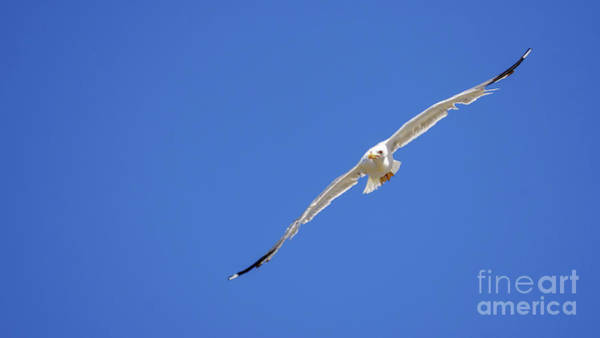 Photograph - Yellow-legged Gull Flying Blue Sky by Pablo Avanzini
