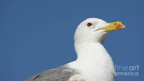 Photograph - Yellow-legged Gull Head Detail by Pablo Avanzini