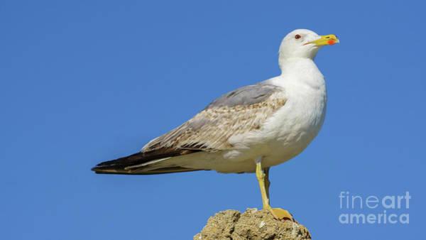 Photograph - Yellow-legged Gull On A Rock by Pablo Avanzini
