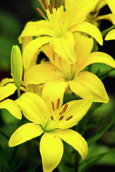 Photograph - Yellow Lilies by Christina Rollo