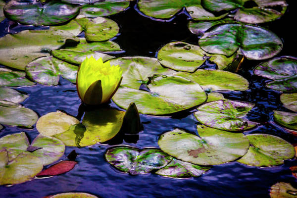 Wall Art - Photograph - Yellow Lily And Lily Pads by Garry Gay