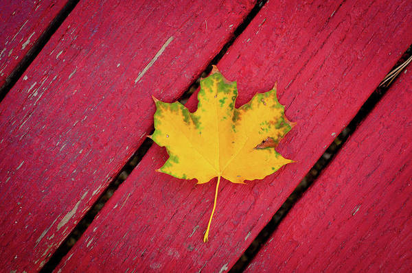 Photograph - Yellow Maple Leaf Against A Red Deck by Photo By Sam Scholes