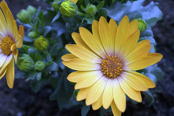 Daisy Photograph - Yellow Marguerite Daisy Osteospermum by Juergen Bosse