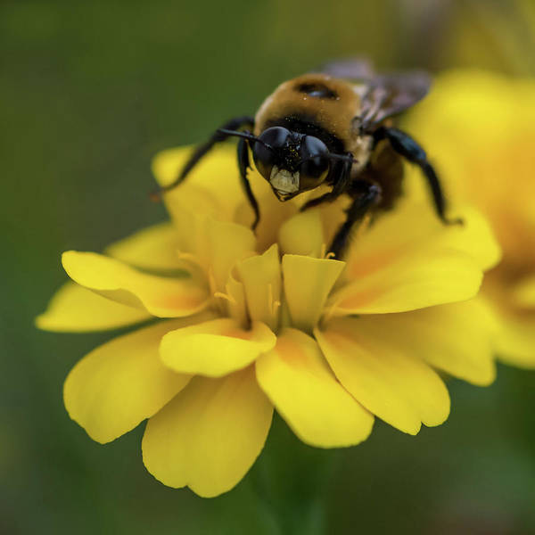 Photograph - Yellow Marigold And Bee Square by Terry DeLuco