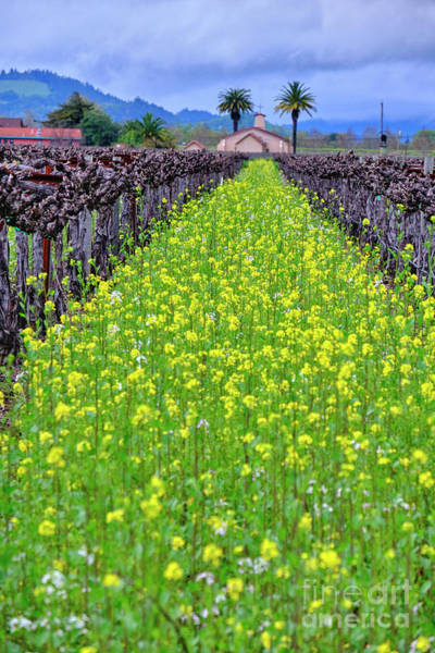 Wall Art - Photograph - Yellow Mustard Blooming  by George Oze