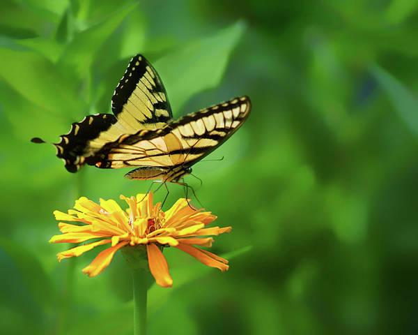 Wall Art - Photograph - Yellow On Yellow - Swallowtail by Nikolyn McDonald