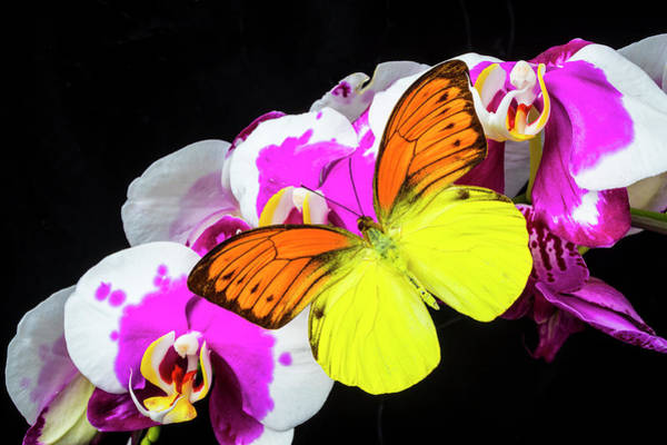 Photograph - Yellow Orange Butterfly On Orchids by Garry Gay