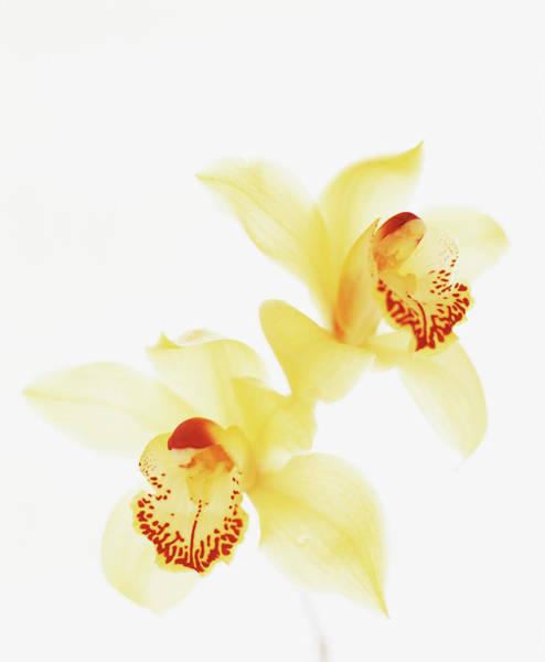 Cymbidium Photograph - Yellow Orchids by Lisa Marie Thompson