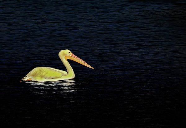 Photograph - Yellow Pelican by Rosalie Scanlon