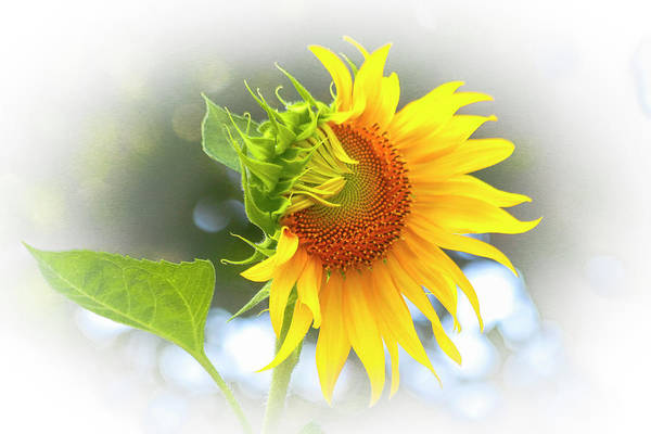 Photograph - Yellow Petals Of Sunshine by Ola Allen