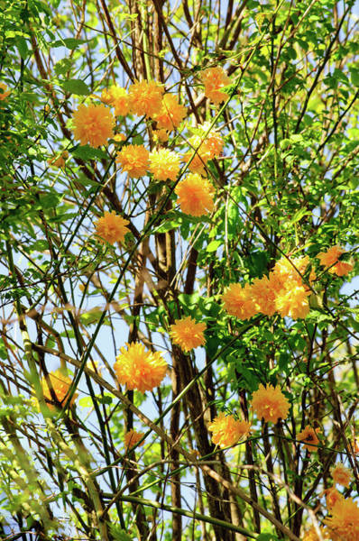 Photograph - Yellow Pom Poms  Of Sunshine by Tikvah's Hope