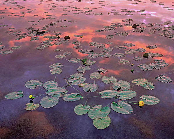 Photograph - Yellow Pond Lilies At Sunset, North by