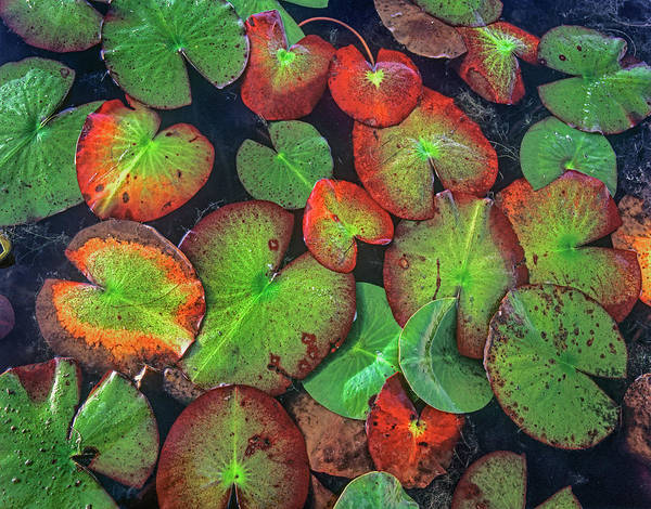 Wall Art - Photograph - Yellow Pond Lily, Weminuche Wilderness by Tim Fitzharris