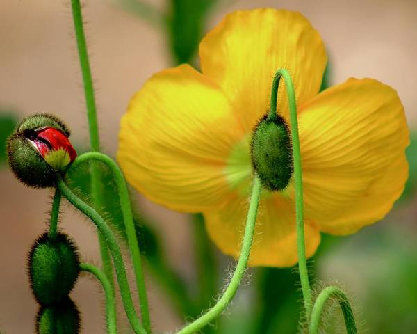 Wall Art - Photograph - Yellow Poppy by Kevin Wheeler