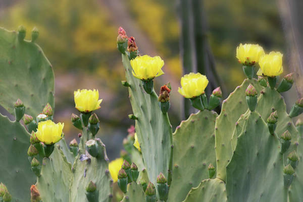 Photograph - Yellow Prickly Pear Patch  by Saija Lehtonen