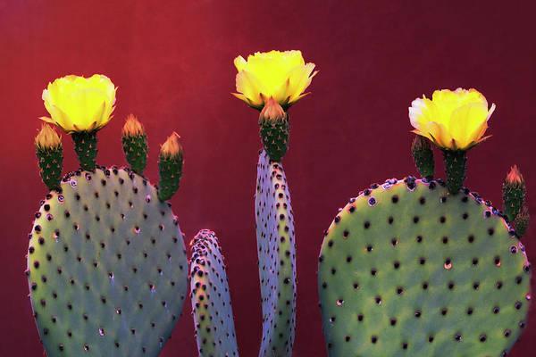 Wall Art - Photograph - Yellow Prickly Pear  by Saija Lehtonen