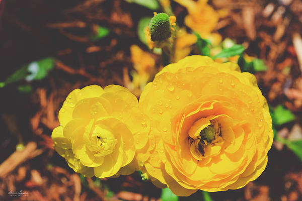 Photograph - Yellow Ranunculus by Anna Louise