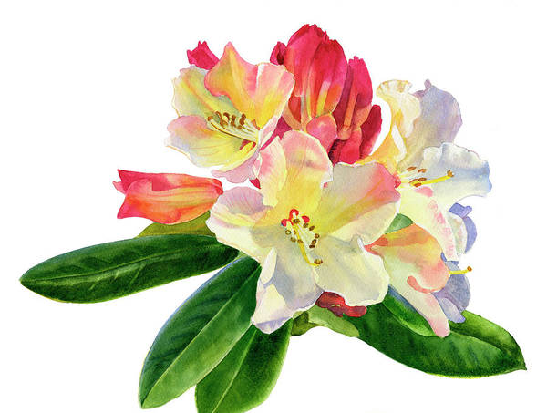 Dark Shadows Painting - Yellow Rhododendron With White Background by Sharon Freeman