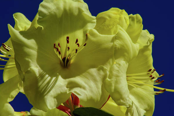 Photograph - Yellow Roddys by Tikvah's Hope